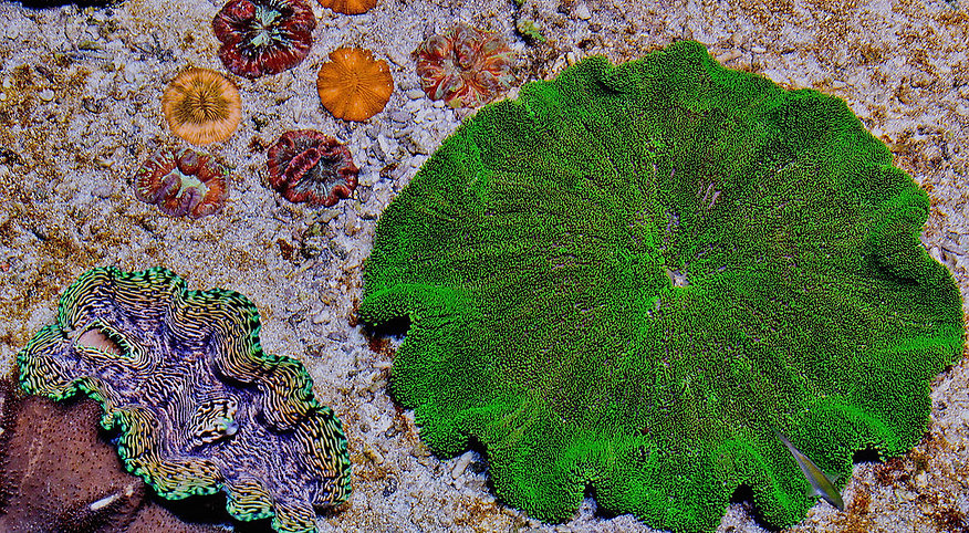 Anemones,Acquarium.jpg