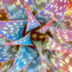 StarSucculent.jpg