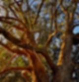 GoldenBranches, Eucalyptus.jpg