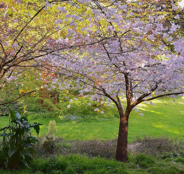 CherryBlossoms & Meadow 2 copy.jpg