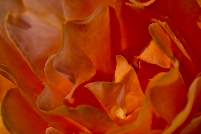 OrangeRose2.jpg