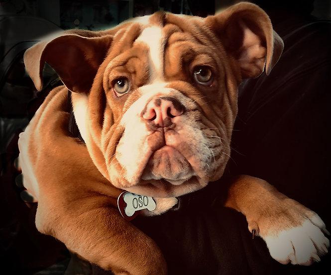 BulldogPuppyFinal.jpg
