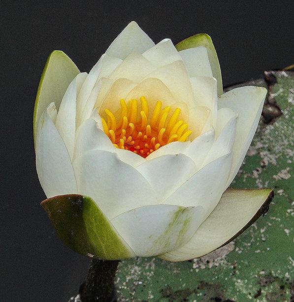LotusBlossum&Pad2 copy.jpg