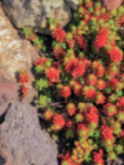 Berry-likeSucculent&Rocks.jpg