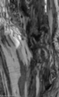 EucalyptusTrunk, B&W.jpg