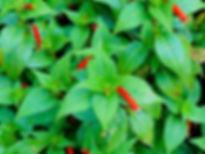 Leaves&RedTubes.jpg