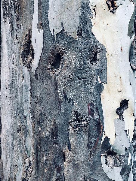 EucalyptusBark.jpg