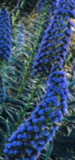 Blue Stalks.jpg