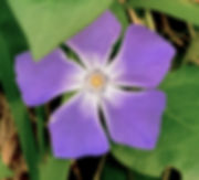 Lavender 5-petal flower.jpg