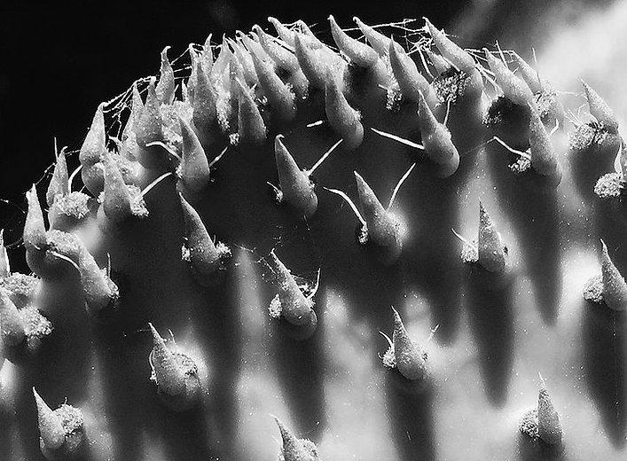 CactusMacro,B&W.jpg