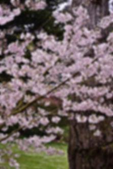 CherryBlossomsAgTree.jpg