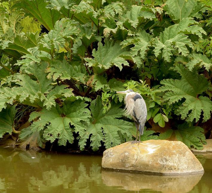 Great Blue HeronArboretum copy.jpg
