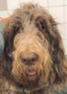 Spinoni Italiano.jpg