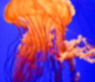 OrangeJellyfish14.jpg