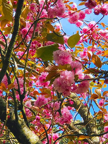 Cherry Blossoms1.jpg