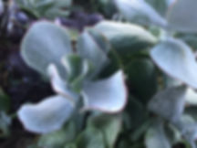 Red-Outlined Succulent.jpg