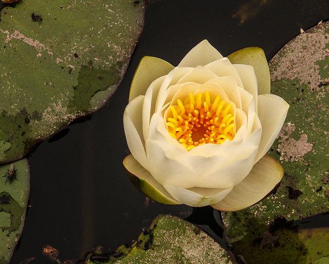 LotusBlossom4.jpg