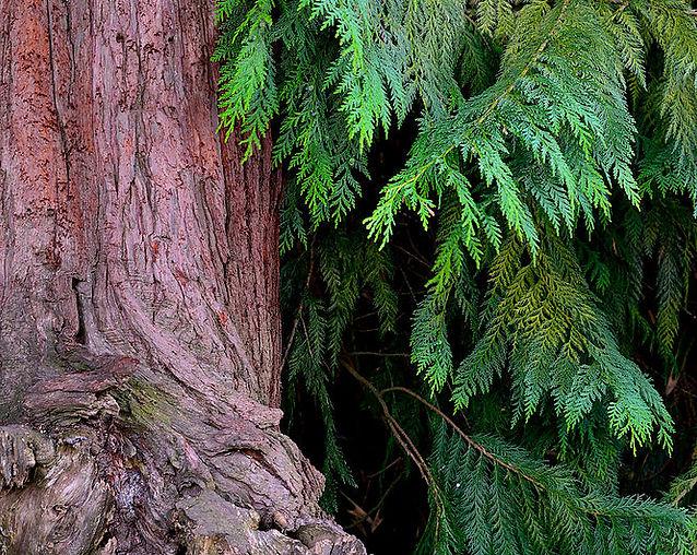 Cedar Tree, GG Pk.jpg