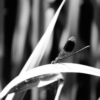 Dragon Fly by Bradders