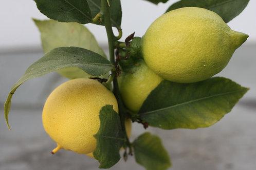 Lustleigh lemons by Cathy McGarvey