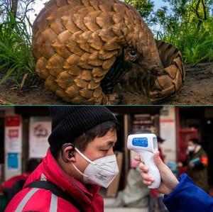 Coronavirus: A revenge by endangered Pangolins on humanity?