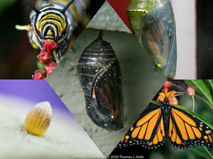 Life after Coronavirus: Change Management through the Lens of a Monarch Butterfly