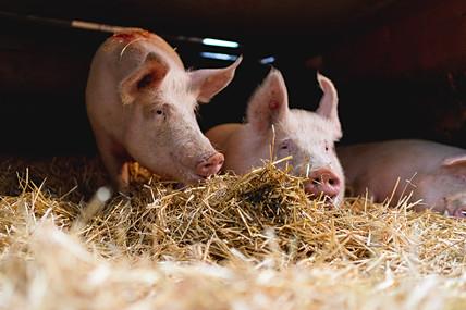 AMA Bio Schweine