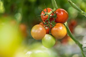 AMA Tomaten Ernte