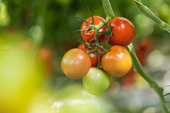 AMA Tomaten
