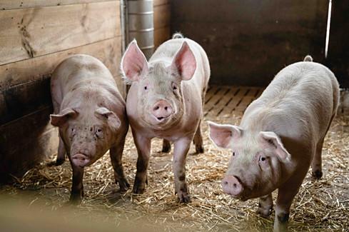 AMA Kampagne Mehr Tierwohl