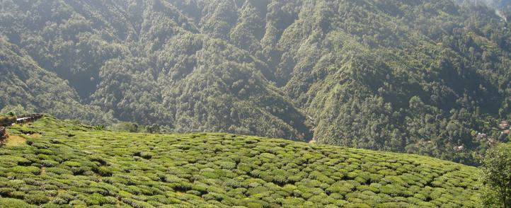 tea-garden-darjeeling snowlion expditions.jpg