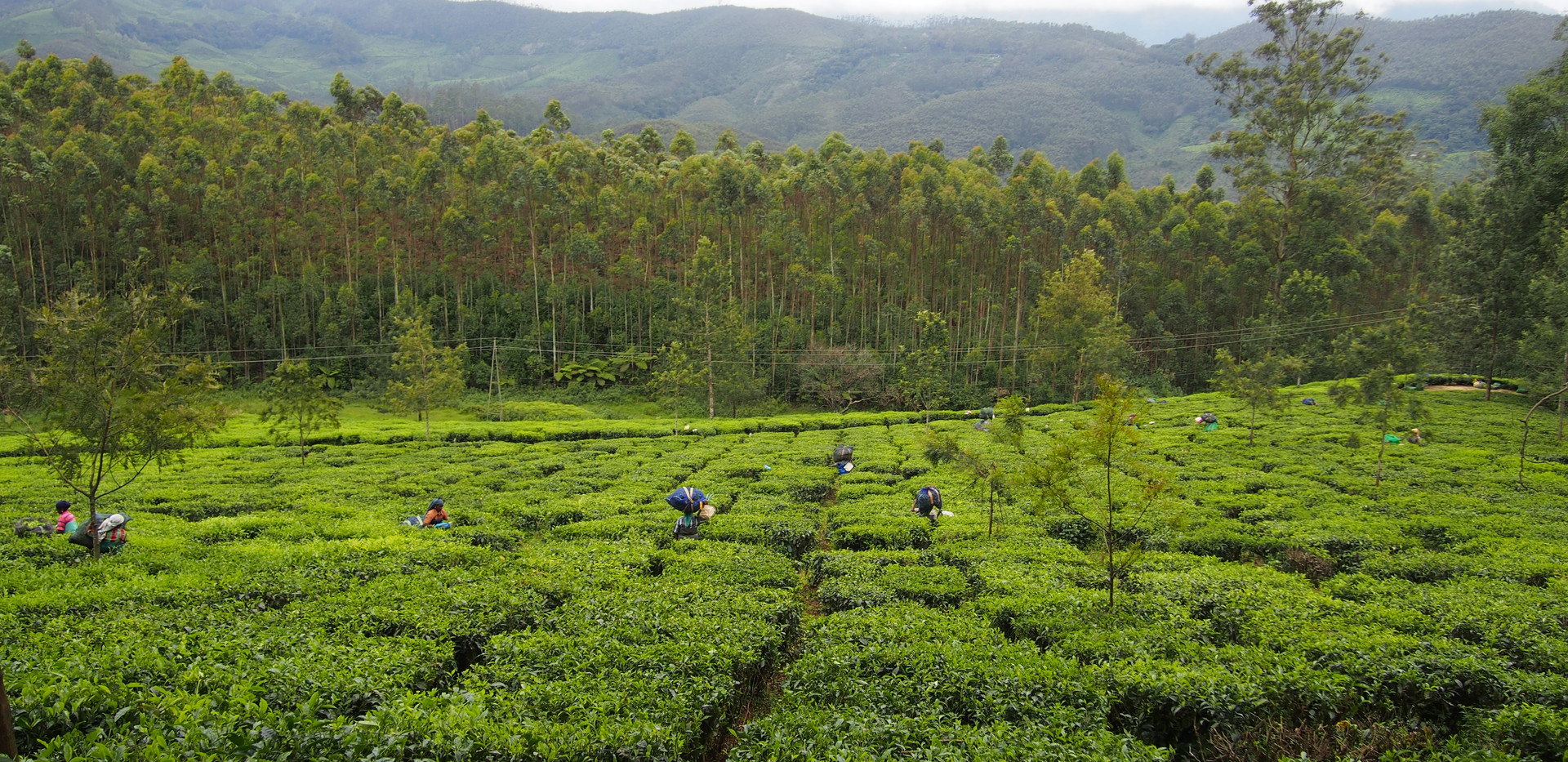 tea-plantation-1910714.jpg