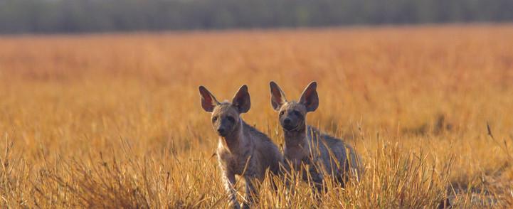 Striped hyena.jpg