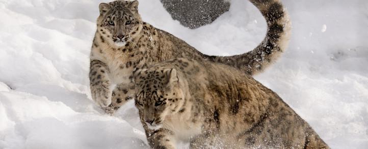 snow-leopard-Snowlion.jpg