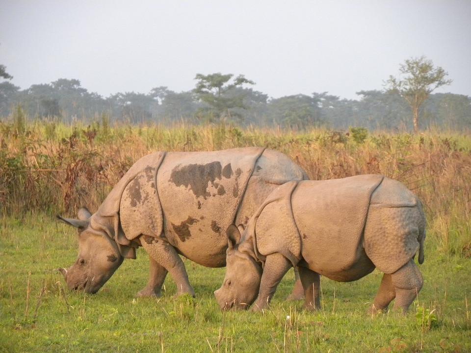 manas-rhino-2120928_960_720.jpg