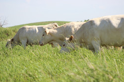 3+cows+on+pasture