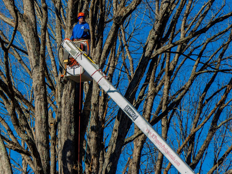 Tree Trimming in Winter; Better Idea than You'd Think
