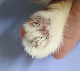 猫落葉状天疱瘡.JPG