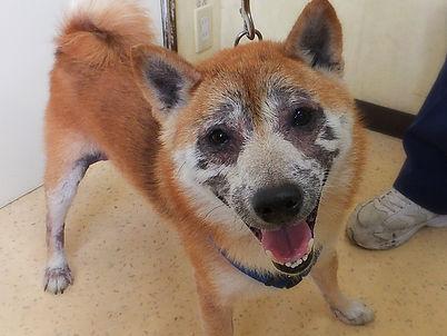 アトピー性皮膚炎|柴犬|皮膚科|西山動物病院|流山市・松戸市・柏市