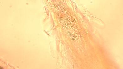 猫 カビ 皮膚糸状菌 皮膚科 西山動物病院 流山市・松戸市・柏市・野田市