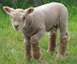 Sheep1_edited.jpg