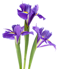 iris-transparent.png