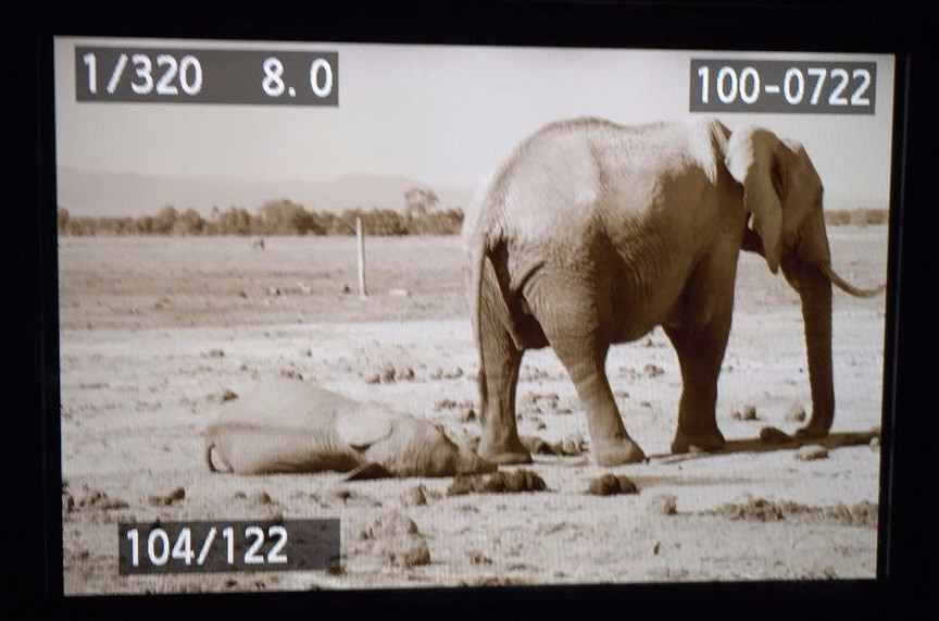 Elephants dying from starvation 10/17 Tanzania