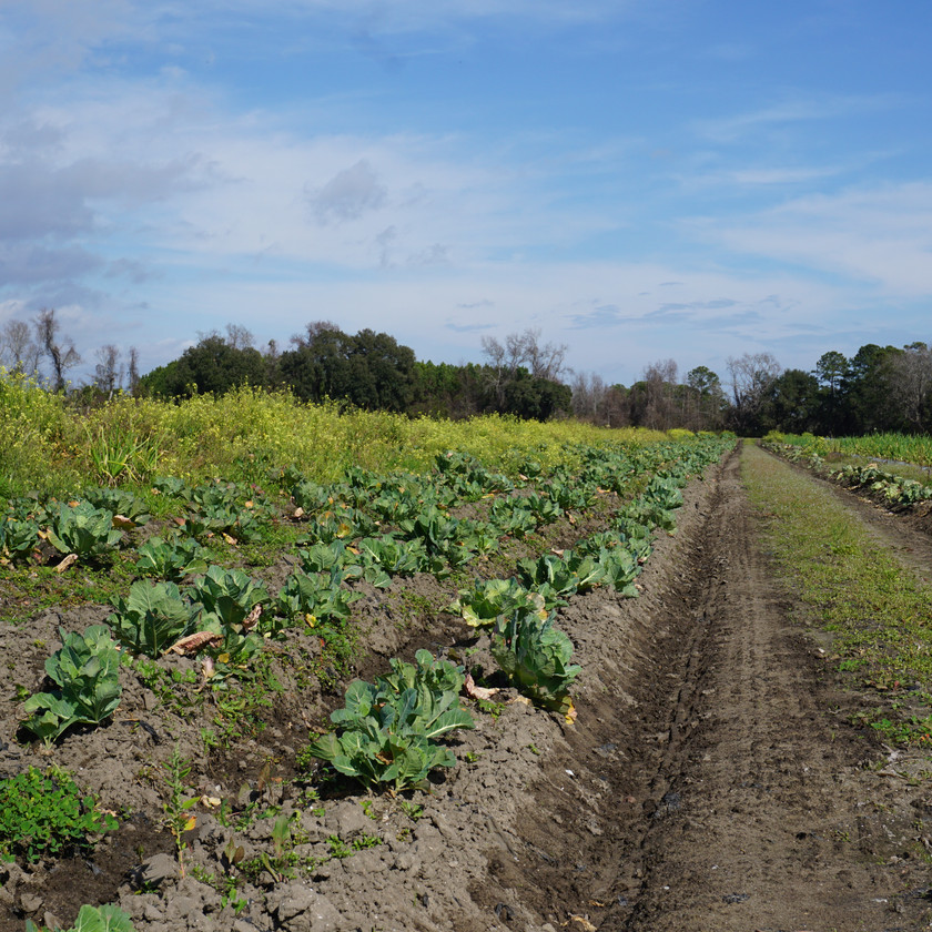 rows of crops growing on the farm