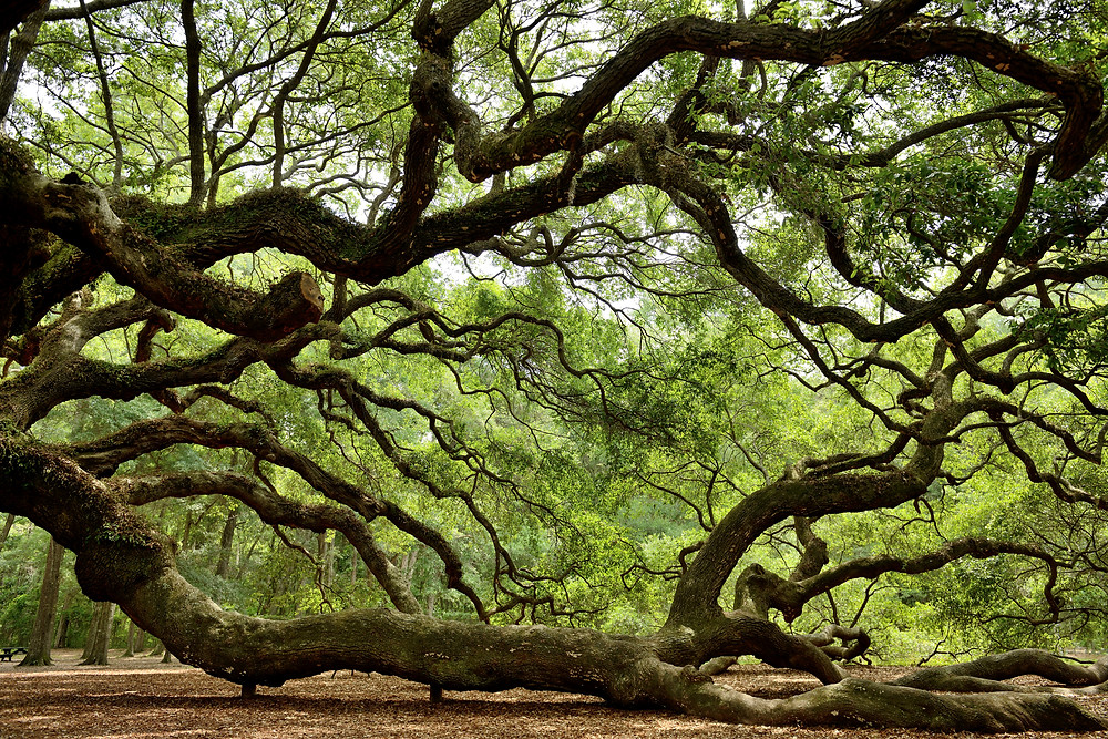 branches of the Angel Oak tree