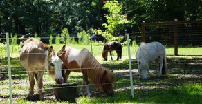 I Spy on JZI: Equines of the Miniature Variety