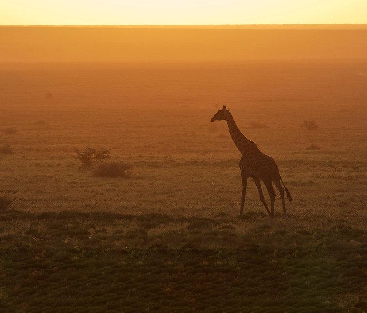 giraffe_extended.jpg