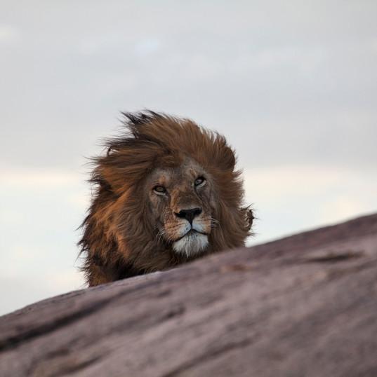 Male lion mane in wind_MG_9947 2.jpg