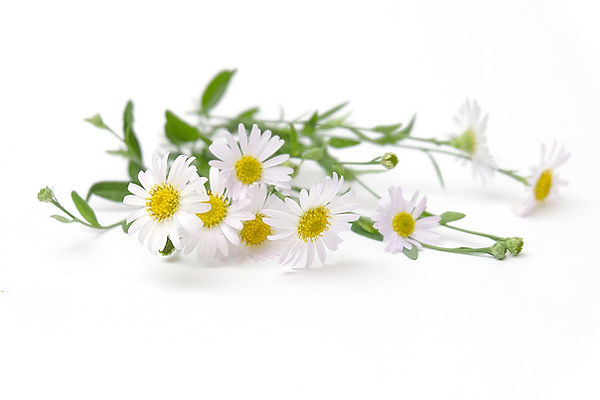 white flowers of German chamomile daisy