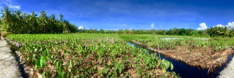 Taufusi (wet taro plantation)